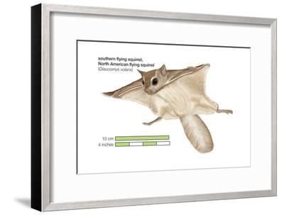 North American Flying Squirrel (Glaucomys Volans), Southern Flying Squirrel, Mammals-Encyclopaedia Britannica-Framed Art Print