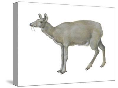 Musk Deer (Moschus Moschiferus), Mammals-Encyclopaedia Britannica-Stretched Canvas Print