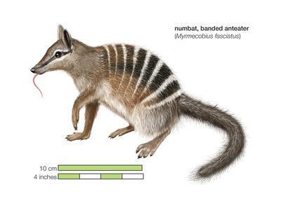Numbat (Myrmecobius Fasciatus), Banded Anteater, Marsupial, Mammals-Encyclopaedia Britannica-Framed Art Print