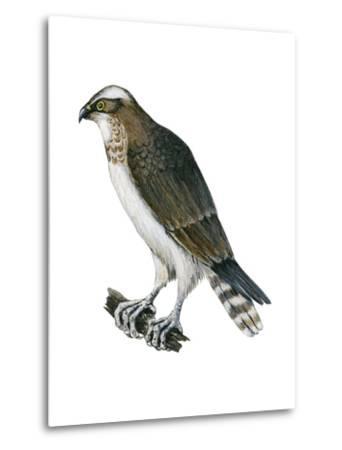 Osprey (Pandion Haliaetus), Fish Hawk, Birds-Encyclopaedia Britannica-Metal Print
