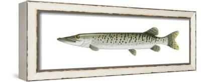 Muskellunge (Esox Masquinongy), Fishes-Encyclopaedia Britannica-Framed Stretched Canvas Print