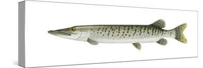 Muskellunge (Esox Masquinongy), Fishes-Encyclopaedia Britannica-Stretched Canvas Print