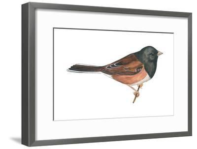 Oregon Junco (Junco Hyemalis Oreganus), Birds-Encyclopaedia Britannica-Framed Art Print