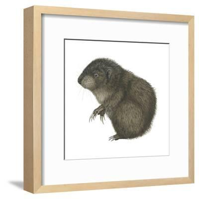 Mountain Beaver (Aplodontia Rufa), Mammals-Encyclopaedia Britannica-Framed Art Print