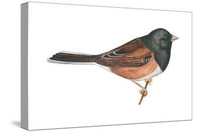 Oregon Junco (Junco Hyemalis Oreganus), Birds-Encyclopaedia Britannica-Stretched Canvas Print