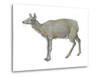 Musk Deer (Moschus Moschiferus), Mammals-Encyclopaedia Britannica-Metal Print