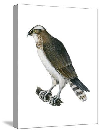 Osprey (Pandion Haliaetus), Fish Hawk, Birds-Encyclopaedia Britannica-Stretched Canvas Print