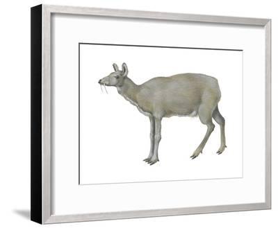 Musk Deer (Moschus Moschiferus), Mammals-Encyclopaedia Britannica-Framed Art Print