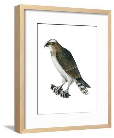 Osprey (Pandion Haliaetus), Fish Hawk, Birds-Encyclopaedia Britannica-Framed Art Print
