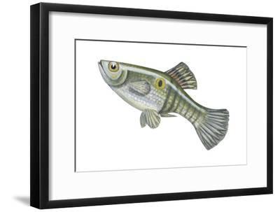 One-Spot Live-Bearer (Poecilia Vivipara), Fishes-Encyclopaedia Britannica-Framed Art Print