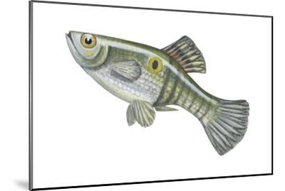 One-Spot Live-Bearer (Poecilia Vivipara), Fishes-Encyclopaedia Britannica-Mounted Art Print