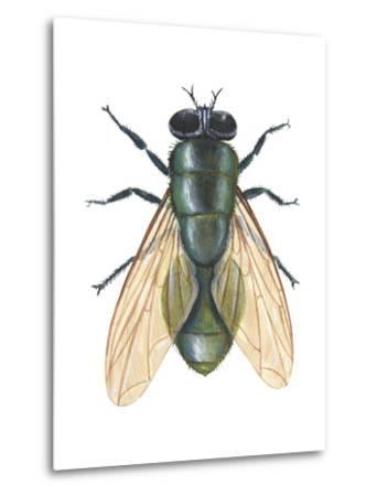 Greenbottle Fly (Lucilia Caesar), Insects-Encyclopaedia Britannica-Metal Print