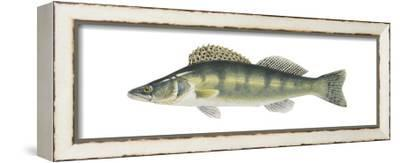Pike-Perch (Sander Lucioperca), Fishes-Encyclopaedia Britannica-Framed Stretched Canvas Print