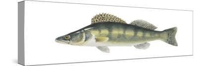 Pike-Perch (Sander Lucioperca), Fishes-Encyclopaedia Britannica-Stretched Canvas Print