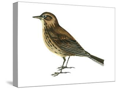 Pipit (Anthus Spinoletta), Birds-Encyclopaedia Britannica-Stretched Canvas Print