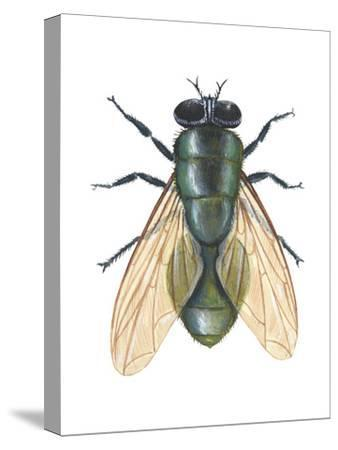Greenbottle Fly (Lucilia Caesar), Insects-Encyclopaedia Britannica-Stretched Canvas Print