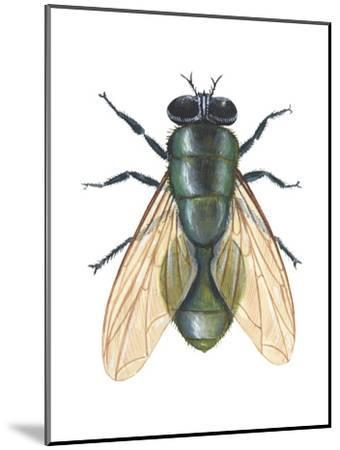 Greenbottle Fly (Lucilia Caesar), Insects-Encyclopaedia Britannica-Mounted Art Print