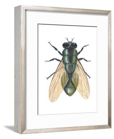 Greenbottle Fly (Lucilia Caesar), Insects-Encyclopaedia Britannica-Framed Art Print