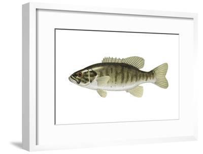 Smallmouth Bass (Micropterus Dolomieui), Fishes-Encyclopaedia Britannica-Framed Art Print