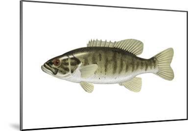 Smallmouth Bass (Micropterus Dolomieui), Fishes-Encyclopaedia Britannica-Mounted Art Print