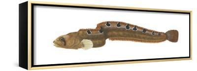 Rock Gunnel (Pholis Gunnellus), Fishes-Encyclopaedia Britannica-Framed Stretched Canvas Print