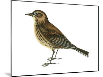 Pipit (Anthus Spinoletta), Birds-Encyclopaedia Britannica-Mounted Art Print