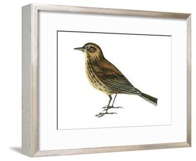 Pipit (Anthus Spinoletta), Birds-Encyclopaedia Britannica-Framed Art Print