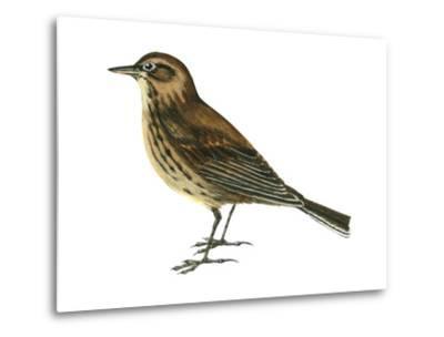 Pipit (Anthus Spinoletta), Birds-Encyclopaedia Britannica-Metal Print