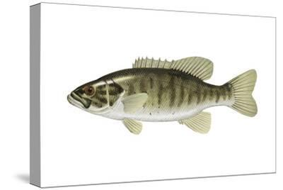 Smallmouth Bass (Micropterus Dolomieui), Fishes-Encyclopaedia Britannica-Stretched Canvas Print