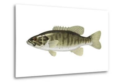 Smallmouth Bass (Micropterus Dolomieui), Fishes-Encyclopaedia Britannica-Metal Print