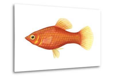 Red Platy (Xiphophorus Maculatus), Fishes-Encyclopaedia Britannica-Metal Print