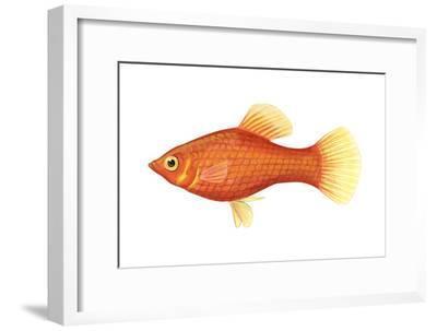 Red Platy (Xiphophorus Maculatus), Fishes-Encyclopaedia Britannica-Framed Art Print