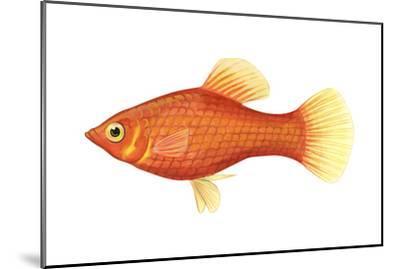 Red Platy (Xiphophorus Maculatus), Fishes-Encyclopaedia Britannica-Mounted Art Print