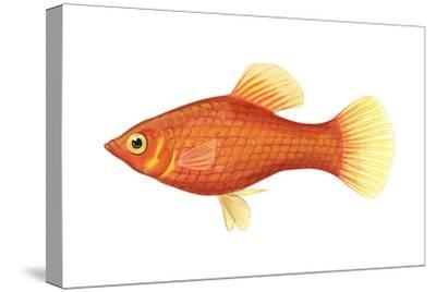 Red Platy (Xiphophorus Maculatus), Fishes-Encyclopaedia Britannica-Stretched Canvas Print