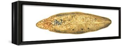 Liver Fluke (Fasciola Hepatica), Platyhelminths, Invertebrates-Encyclopaedia Britannica-Framed Stretched Canvas Print