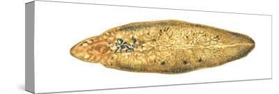 Liver Fluke (Fasciola Hepatica), Platyhelminths, Invertebrates-Encyclopaedia Britannica-Stretched Canvas Print