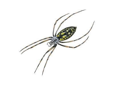 Black-And-Yellow Argiope (Argiope Aurantia), Spider, Arachnids-Encyclopaedia Britannica-Framed Art Print