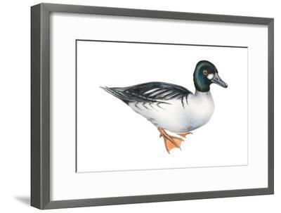 Common Goldeneye (Bucephala Clangula), Duck, Birds-Encyclopaedia Britannica-Framed Art Print