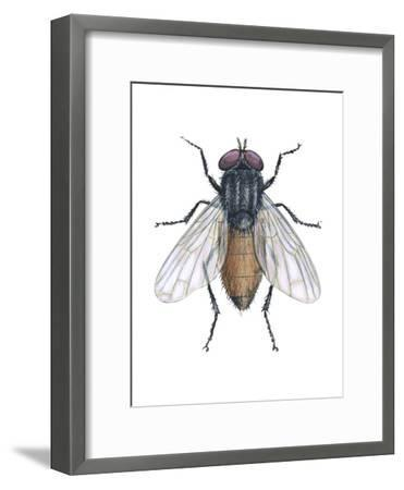 Housefly (Musca Domestica), Insects-Encyclopaedia Britannica-Framed Art Print