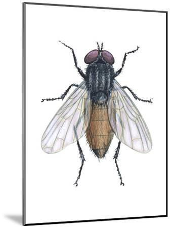 Housefly (Musca Domestica), Insects-Encyclopaedia Britannica-Mounted Art Print
