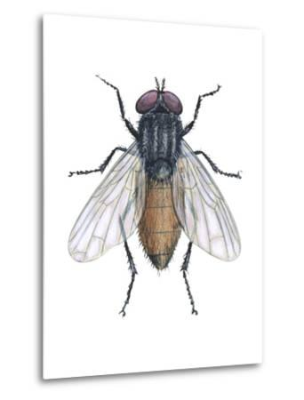 Housefly (Musca Domestica), Insects-Encyclopaedia Britannica-Metal Print
