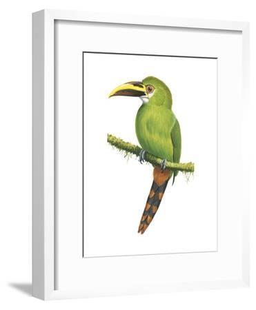 Emerald Toucanet (Aulacorhynchus Prasinus), Birds-Encyclopaedia Britannica-Framed Art Print