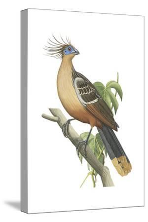 Hoatzin (Opisthocomus Hoazin), Birds.-Encyclopaedia Britannica-Stretched Canvas Print