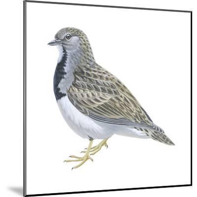 Least Seedsnipe (Thinocorus Rumicivorus), Birds-Encyclopaedia Britannica-Mounted Art Print