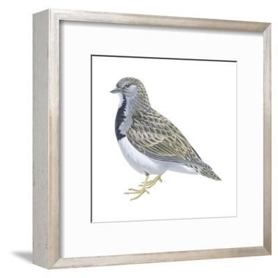 Least Seedsnipe (Thinocorus Rumicivorus), Birds-Encyclopaedia Britannica-Framed Art Print