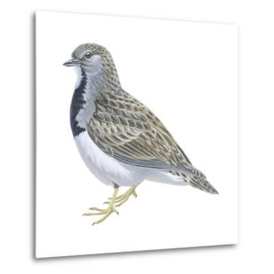 Least Seedsnipe (Thinocorus Rumicivorus), Birds-Encyclopaedia Britannica-Metal Print