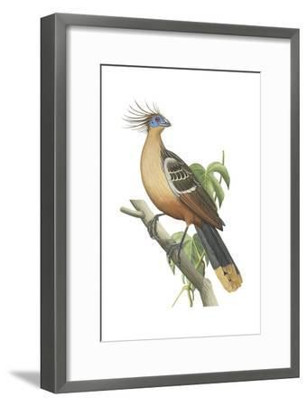 Hoatzin (Opisthocomus Hoazin), Birds.-Encyclopaedia Britannica-Framed Art Print