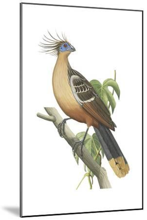 Hoatzin (Opisthocomus Hoazin), Birds.-Encyclopaedia Britannica-Mounted Art Print