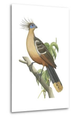 Hoatzin (Opisthocomus Hoazin), Birds.-Encyclopaedia Britannica-Metal Print