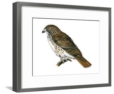 Red-Tailed Hawk (Buteo Jamaicensis), Birds-Encyclopaedia Britannica-Framed Art Print